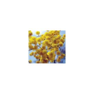 Acacia Dealbata Greffe – Pot de 5L 118950