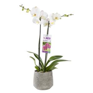 Orchidée Phalaenopsis avec cache pot 126365