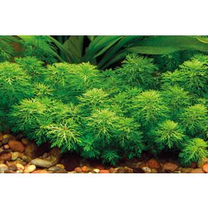 Plante aquatique Limnophila Sessiliflora en pot 126605