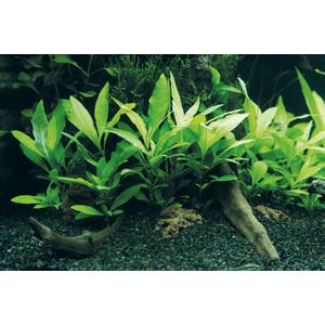 Plante aquatique Hygrophila Corymbosa Siamensis 53B en pot 126620