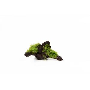 Vesicularia dubyana Christmas sur racine 126709