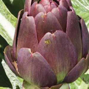 Artichaut violet de Provence Amethyst bio. Le pot de 1 litre recyclé 128274