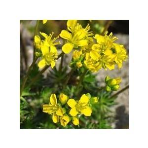 Draba Aizoides. Le pot de 1 litre 128676