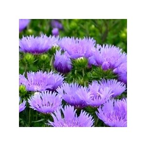 Stokesia laevis mels blue en pot de 2 L 128840