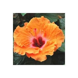 Hibiscus de Chine. Le pot de 2 litres 253573