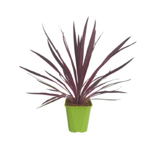 Cordyline Pink Passion en pot de 4 litres 129326