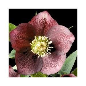 Hellébore (ou Rose de Noël) ORI. ROUGE PONCTUE - Le pot de 1 litre 129370