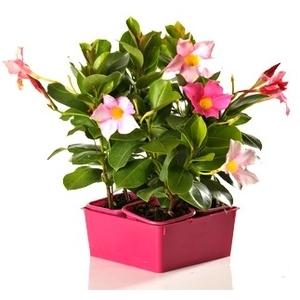 Dipladénia buisson. La barquette de 4 plants 129881