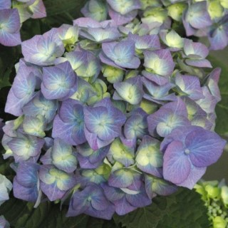 Hydrangea Macrophylla Variée tige – Pot de 3L 130109