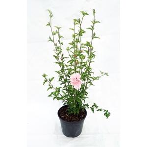 HIBISCUS syriacus PINK CHIFFON ® 'Jwnwood4' cov 5L 131012