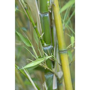 Bambou phyllostachys aureosulcata aureocaulis vert pot de 7L 134428