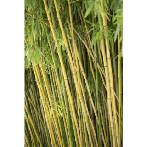 Bambou (BAMBOU PHYLLOSTACHYS HUMILIS) Le pot de 7 litres 134438