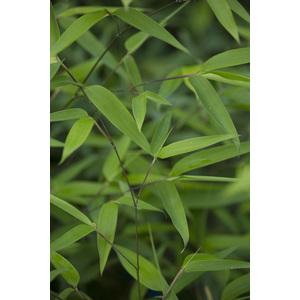 Bambou phyllostachys tip top vert pot de 7L 134439