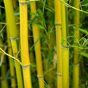 Bambou phyllostachys aureosulcata spectabilis vert pot de 30L 134507