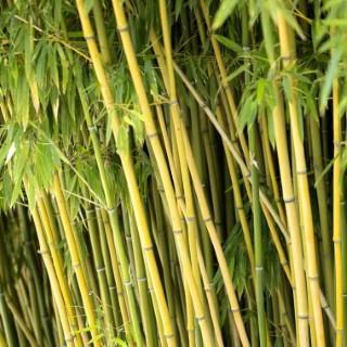 Bambou phyllostachys humilis vert pot de 30L 134548