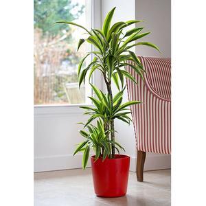 dracaena lemon line 3p plantes vertes maison botanic. Black Bedroom Furniture Sets. Home Design Ideas
