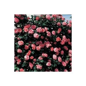 Rosier rose grimpant  – Pot de 7L 139298