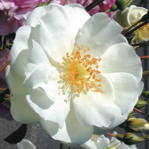 Rosier opalia blanc avec pot bleu de 5 L 139334