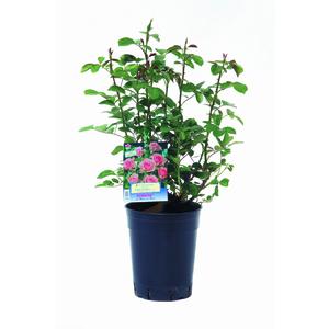 Rosier Buisson varié – Pot de 4L 139345