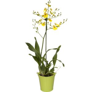 Orchidée Oncidium 2 branches + cache-pot. Pot 12cm 14474