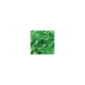 Stévia vert biologique en pot de 10,5 cm 14860