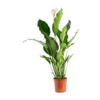 Spathiphyllum Sweet Lauretta 3/4 fleurs pot Ø24xH100 cm 14908