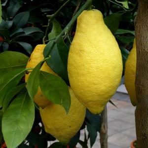 Citronnier en jardinière 150413