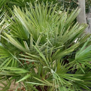 Chamaerops Humilis vert en pot de 90 L 150451