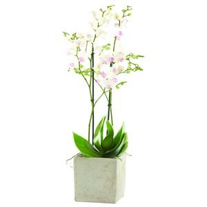 Phalaenopsis et cache-pot 152850