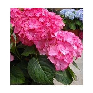 Hydrangea Macrophylla – Pot de 5L 153636