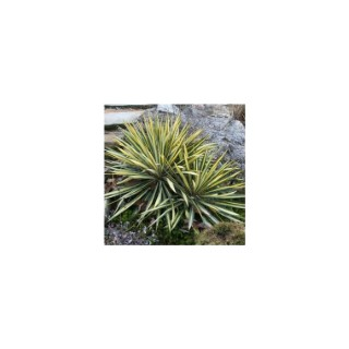 Yucca Color Guard jaune en pot de 3 L 154345