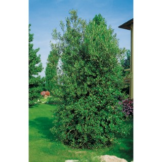 Chêne Vert - pot 10 L 155107