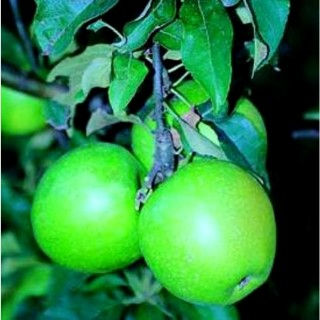 Pommier Granny Smith forme Gobelet racines nues 155333
