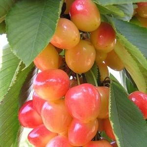 Cerisier Bigarreau Napoléon 1/2 tige 6/8 racines nues 155363