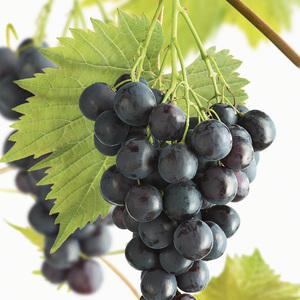 Vigne Muscat Bleu. Le pot de 2 litres 155581