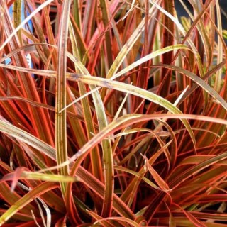 Uncinia rubra rouge en pot de 3 L 117035