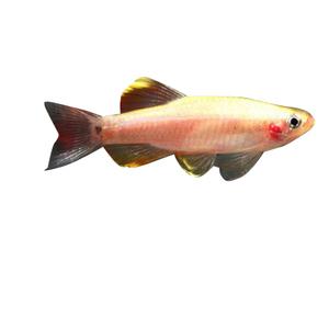 Poisson tanichthys gold de 3 cm 15839