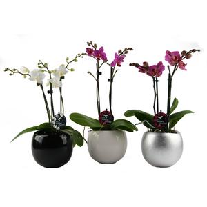 Phalaenopsis + Cache pot 15973