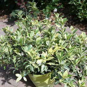 Jasmin étoilé Sun Lover (Trachelospermum Jasminoides). Le pot 4 litres 160846