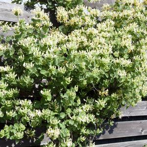 Chèvrefeuille Scentsation (Lonicera) jaune. Le pot de 4 litres 160905