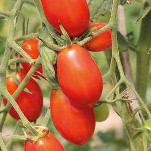 Tomate cerise allongée Aligote. Le pot de 10,5 cm 164862