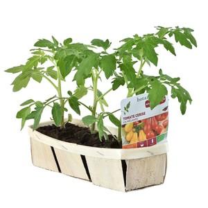Tomates Cerises En Mélange. La barquette de 3 plants 165138