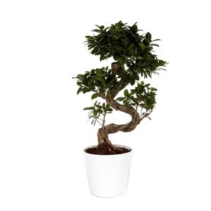 Ficus Microcarpa Ginseng 70 cm avec cache pot Ø 22 cm 165934