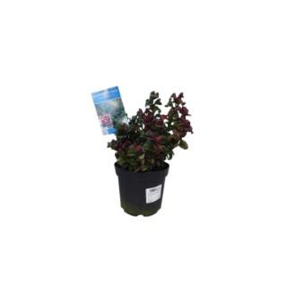 Leucothoe Axillaris Curly Red en pot de 2 L 165965