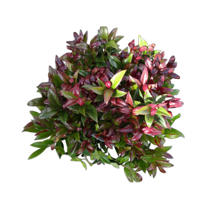 Leucothoe Axillaris Curly Red – Pot de 5L 165966
