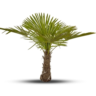 Palmier Trachycarpus Excelsa 125/150 cm Tronc 40/50 cm en pot de 35 L 166021