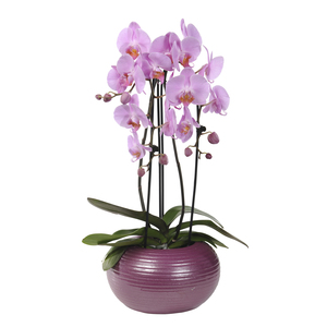 Orchidée Phalaenopsis 2 branches cascade en pot de 12 cm 170525