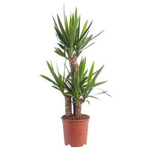 Yucca 170753