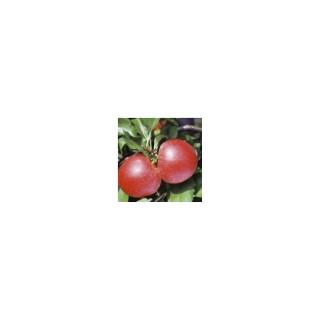 Pommier Royal Gala® forme palmette UD 174436