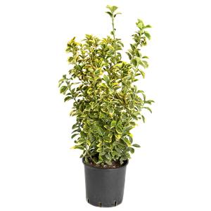 Euonymus Japonica Aureomarginatus en pot de 30 L 100/125 cm 174518